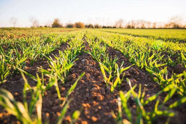 Jak pozbyć się chwastów z kukurydzy?